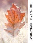 autumn leaf in the frost. oak ... | Shutterstock . vector #1175760481