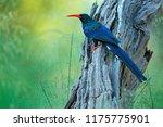 green wood hoopoe  phoeniculus... | Shutterstock . vector #1175775901