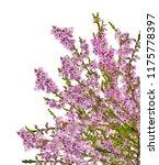 heather with purple flowers... | Shutterstock . vector #1175778397