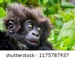 Stock photo cute baby of wild mountain gorilla in volcanoes national park rwanda close up soft focuse 1175787937