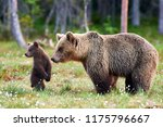 Stock photo brown bear cub standing and her mom close focus on cub 1175796667