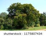 shepherd beech near dobbin in... | Shutterstock . vector #1175807434