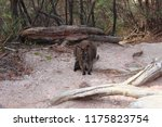 wallaby on the way to wineglass ... | Shutterstock . vector #1175823754