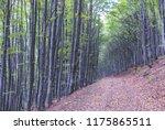 autumn beech forest trees | Shutterstock . vector #1175865511