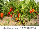 sweet pepper planting in the... | Shutterstock . vector #1175905234