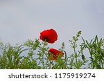 Small photo of Poppy flower or papaver rhoeas poppy with the light behind in Italy remembering 1918, the Flanders Fields poem by John McCrae and 1944, The Red Poppies on Monte Cassino song by Feliks Konarski