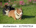 two corgi are playing together... | Shutterstock . vector #1175937514