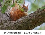 squirrel eating mushroom on... | Shutterstock . vector #1175975584