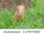 close up of brown squirrel... | Shutterstock . vector #1175975587
