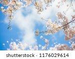 Sakura Cherry Blossoms With...