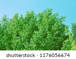 vintage spruces with a... | Shutterstock . vector #1176056674