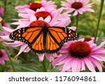 Male Monarch Butterfly Is A...
