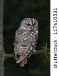 Stock photo tawny owl strix aluco 117610531