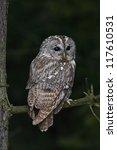 Tawny Owl  Strix Aluco  Hidden...
