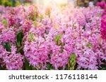 pink hyacinth flowers...   Shutterstock . vector #1176118144