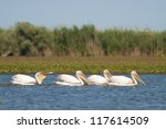 white pelicans on water | Shutterstock . vector #117614509