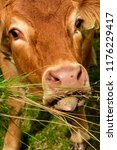 friendly red angus cow in... | Shutterstock . vector #1176229417