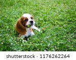 cute little cavalier king... | Shutterstock . vector #1176262264