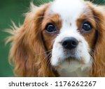 beautiful cavalier king charles ... | Shutterstock . vector #1176262267