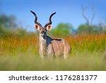 greater kudu  tragelaphus... | Shutterstock . vector #1176281377