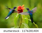 Stock photo blue hummingbird violet sabrewing flying next to beautiful red flower tinny bird fly in jungle 1176281404