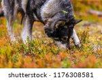 hunting dog seeking prey in the ... | Shutterstock . vector #1176308581