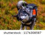hunting dog seeking prey in the ... | Shutterstock . vector #1176308587