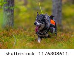 hunting dog seeking prey in the ... | Shutterstock . vector #1176308611