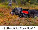 hunting dog seeking prey in the ... | Shutterstock . vector #1176308617