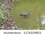Gray Heron Stands In The Pond...