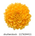 Beautiful Dahlia Flower...