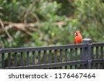 red male northern cardinal bird ... | Shutterstock . vector #1176467464