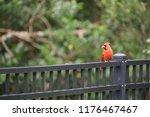 red male northern cardinal bird ... | Shutterstock . vector #1176467467