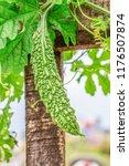 young bitter gourd hang on... | Shutterstock . vector #1176507874