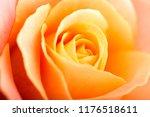 rose flower macro studio shot | Shutterstock . vector #1176518611