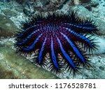 crown of thorns starfish ... | Shutterstock . vector #1176528781