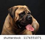 Bullmastiff Dog On Isolated...