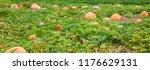 orange pumpkin in the garden in ... | Shutterstock . vector #1176629131