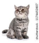 Stock photo exotic shorthair kitten in front of white background 1176652807