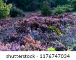 blooming heather in moorland... | Shutterstock . vector #1176747034