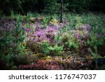 blooming heather in forest with ... | Shutterstock . vector #1176747037