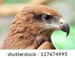 Head Of Black Kite Bird