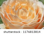 close up of cream color rose... | Shutterstock . vector #1176813814