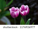 purple tulips isolated | Shutterstock . vector #1176926977