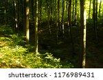 beech forest. beech is a... | Shutterstock . vector #1176989431