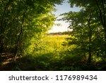 beech forest. beech is a... | Shutterstock . vector #1176989434