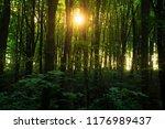 beech forest. beech is a... | Shutterstock . vector #1176989437