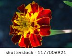 the species tagetes lucida ... | Shutterstock . vector #1177006921