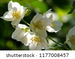 philadelphus they are named...   Shutterstock . vector #1177008457