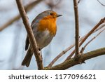european robin or redbreast ... | Shutterstock . vector #1177096621